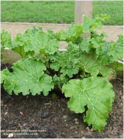 Fig. 12 Rhubarb (Great Water Dock)