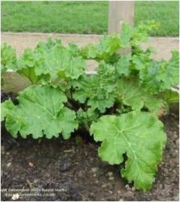 Fig. 12 Rhubarb (Great Water Dock)