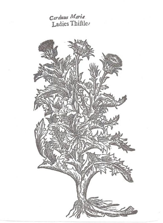 Our Ladies-Thistle, page 1150 from John Gerard,,