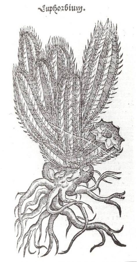 Euphorbium, page 615 from Rembert Dodoens,Cruy,
