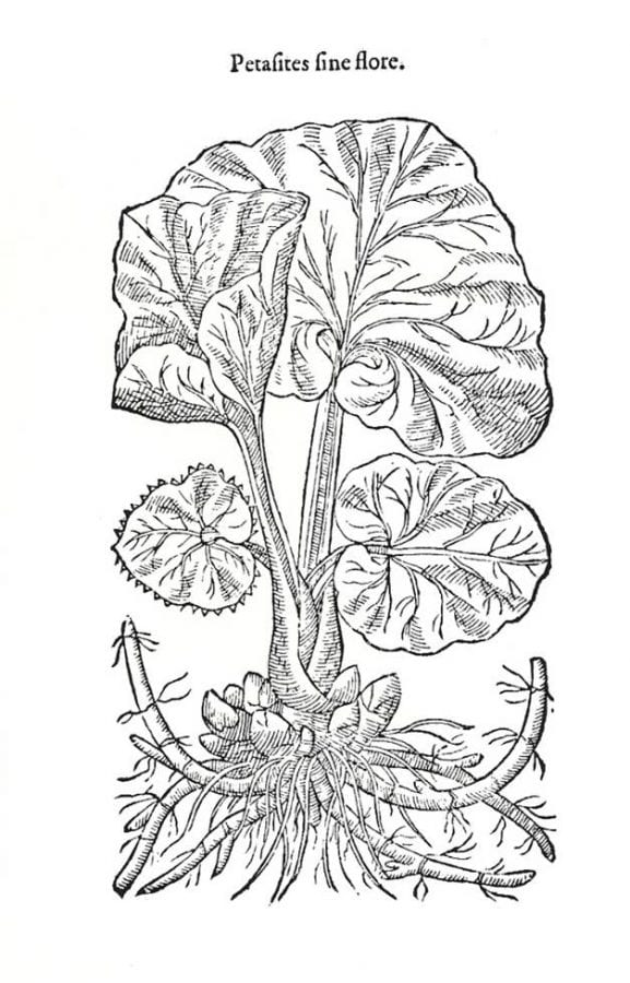 Butter-burre,page 814 from John Gerard,The H,